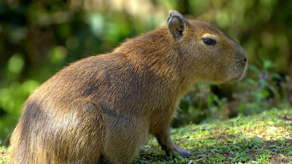 Rongeur, rat - Avipur Basse Normandie
