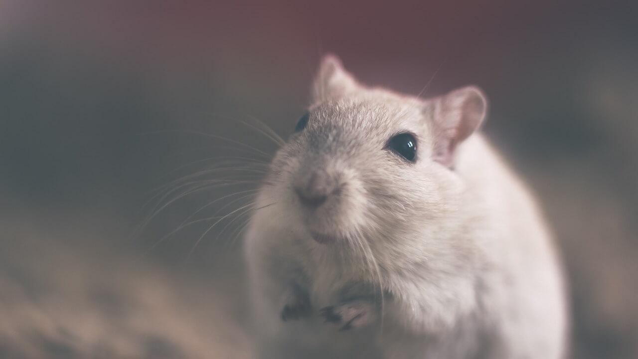 Rats - Avipur Basse Normandie