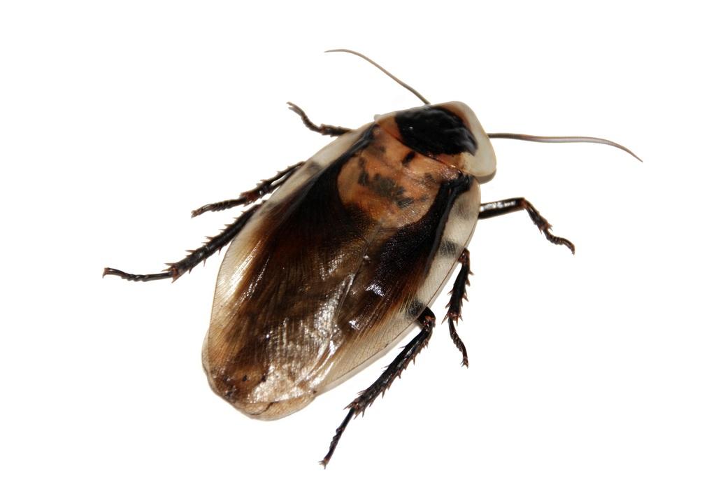 Risques d'une invasion d'insectes